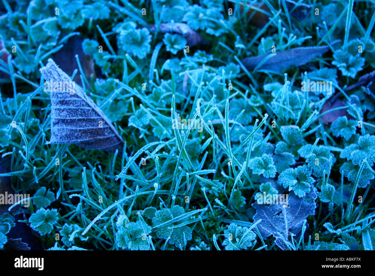 Frost on grass and leaves in winter - Stock Image