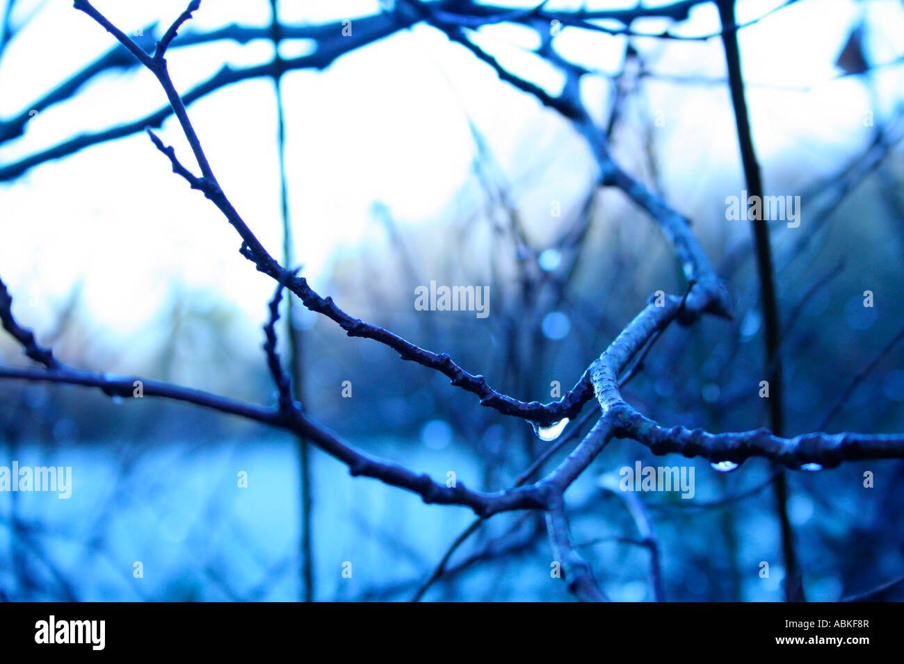 rain fall dripping from branches in winter - Stock Image