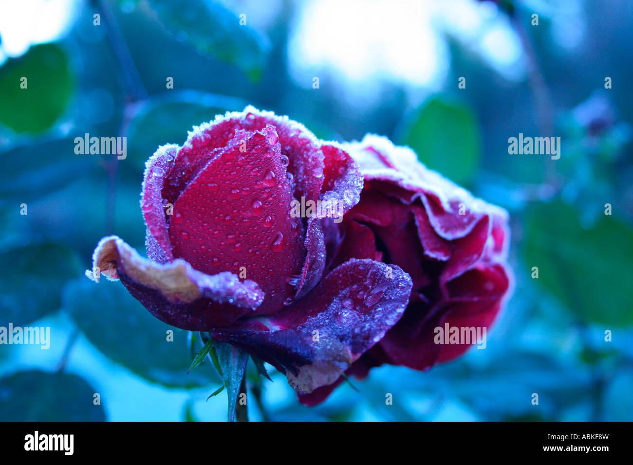 Single icey rose Stock Photo