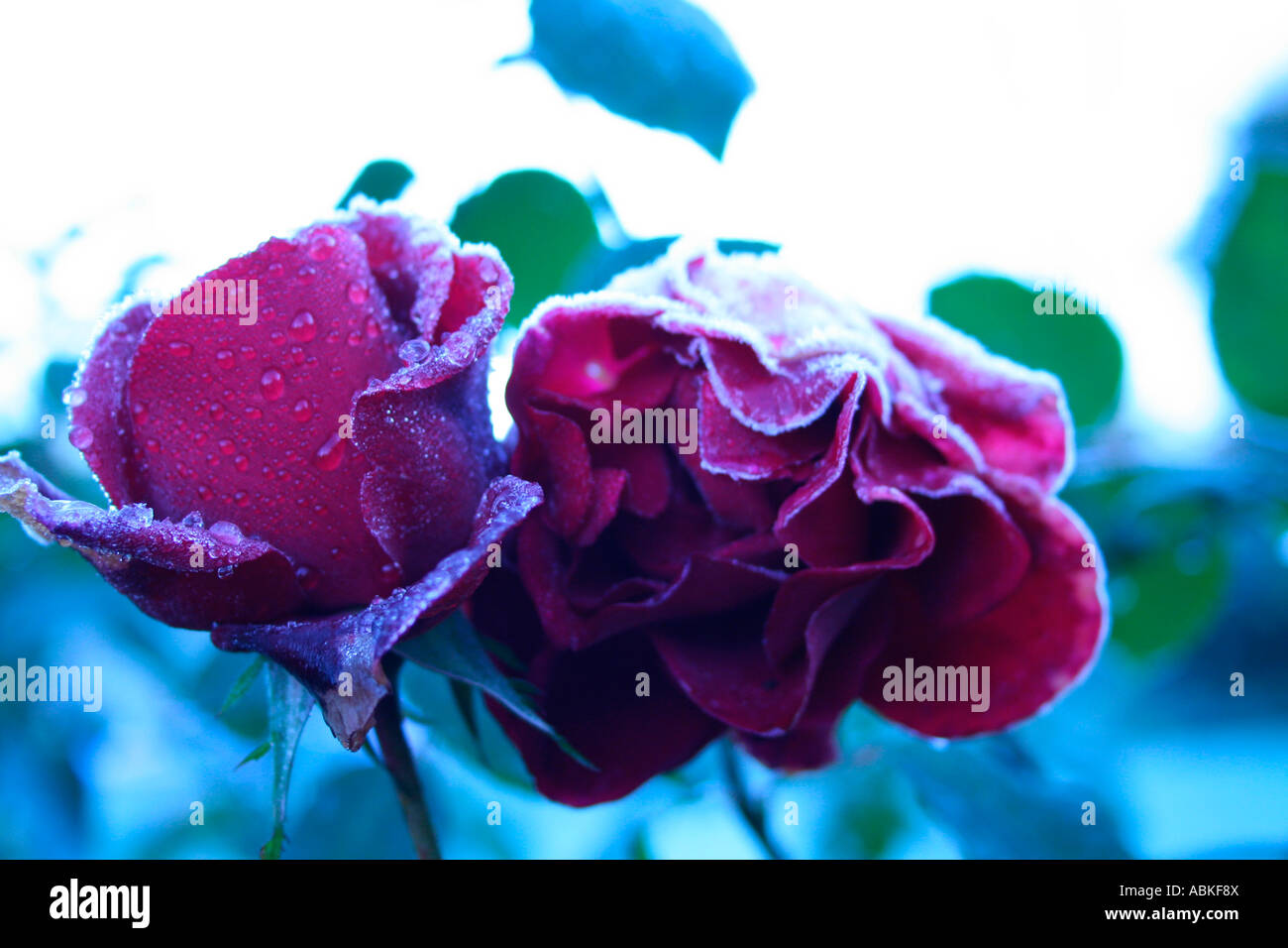 Two fosty roses surviving the winter - Stock Image