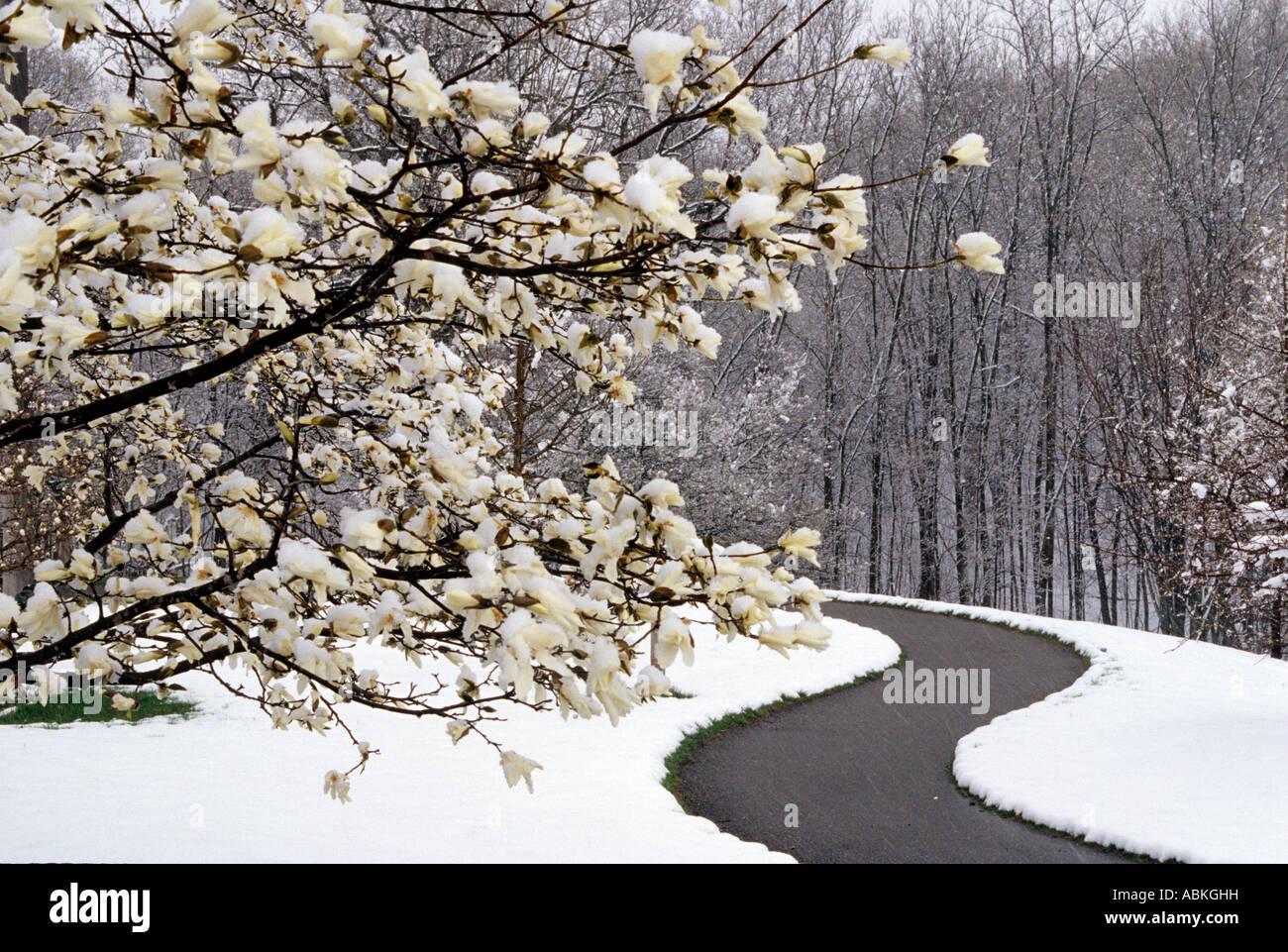 Late Spring Snow And Magnolia Tree At Minnesota Landscape Arboretum