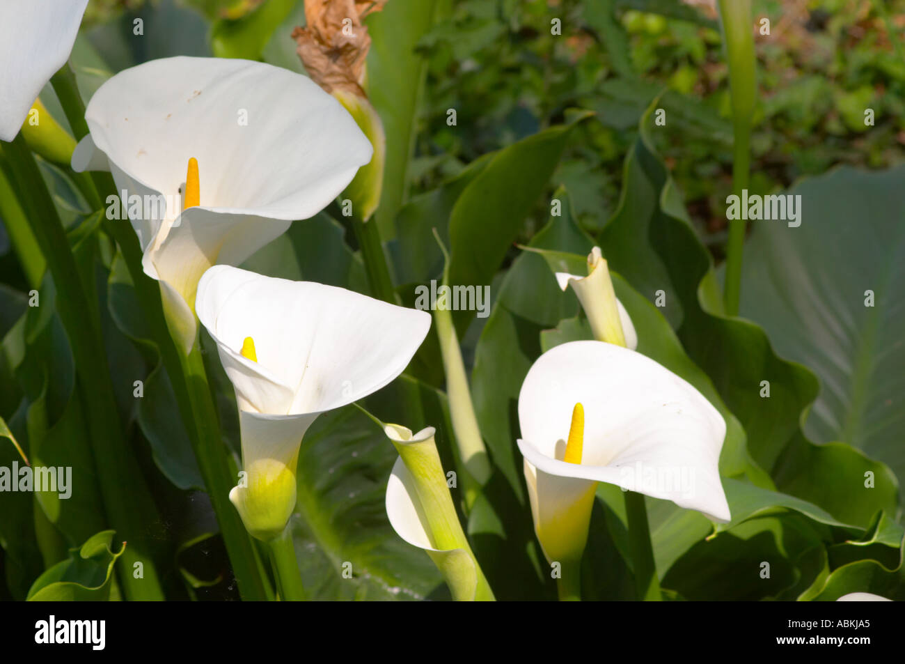 White calla lily flowers in the garden chateau kirwan cantenac white calla lily flowers in the garden chateau kirwan cantenac margaux medoc bordeaux gironde aquitaine france izmirmasajfo