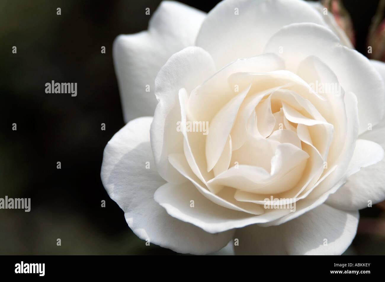 White Rose Of Yorkshire Stock Photos White Rose Of Yorkshire Stock