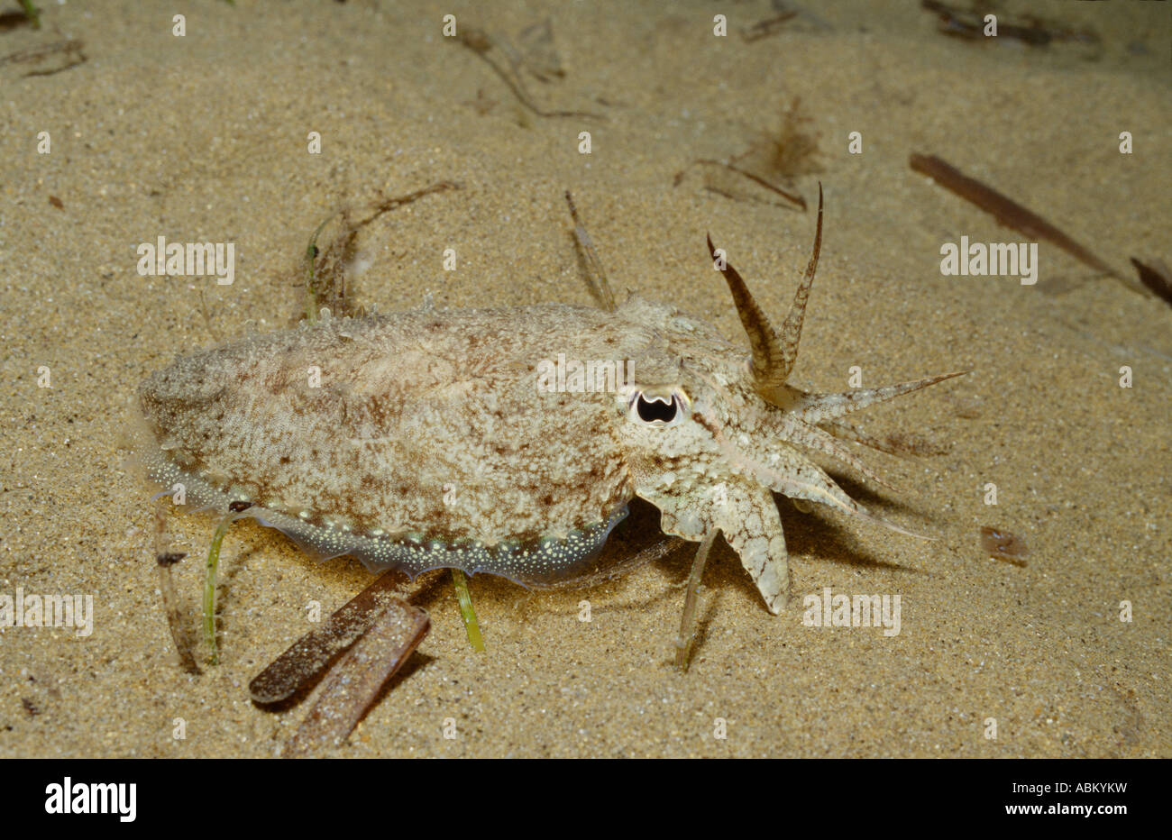 Cuttlefish on the seafloor, Sepia officinalis - Stock Image