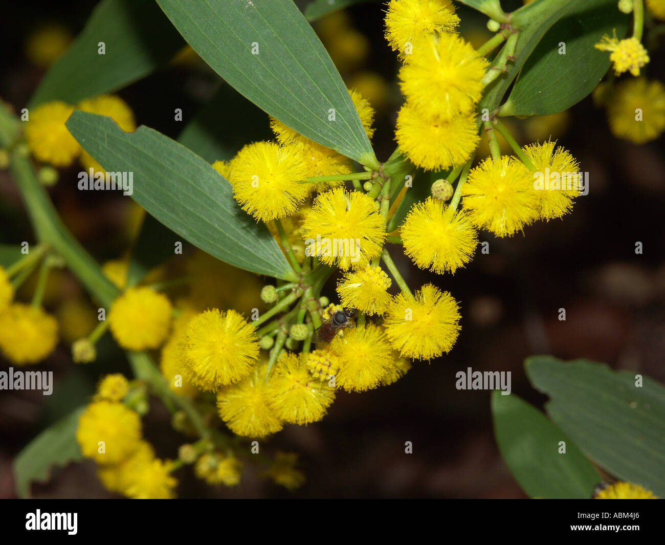 Cluster of vivid yellow flowers and bright green leaves of Australian acacia / wattle species - Stock Image