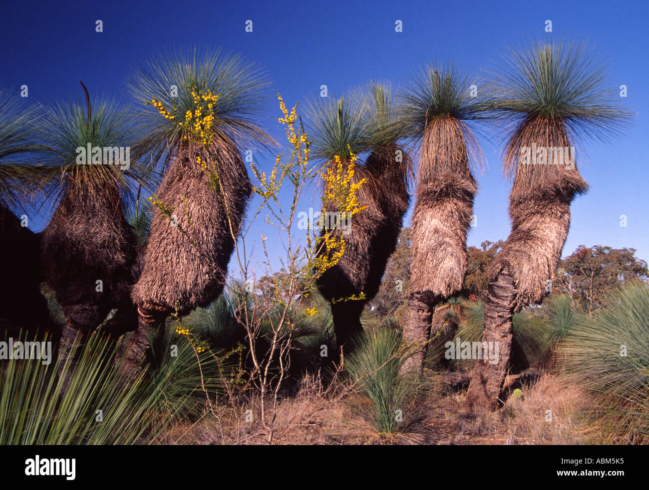 Grass trees - Xanthorrhoea species - stand like sentries in an Australian rural landscape Stock Photo