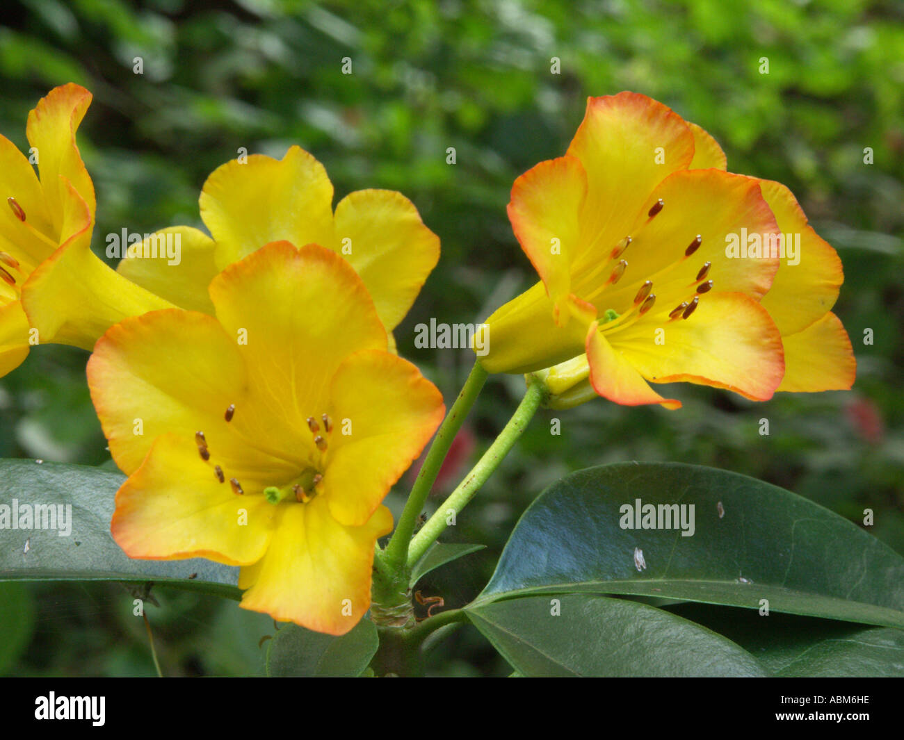 Flower Of Vireya Rhododendron Hot Tropic A Colourful Flowering