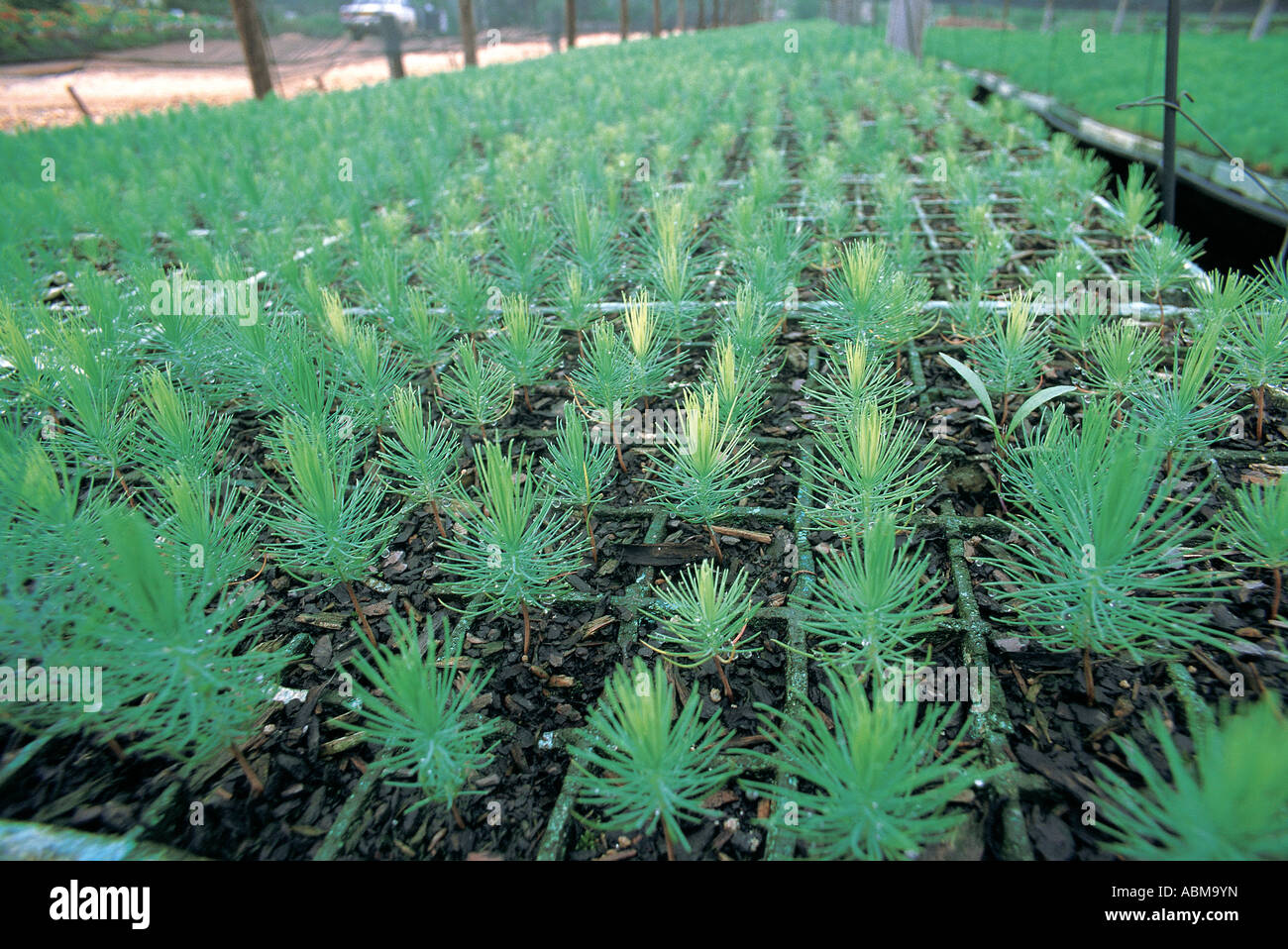 Pine tree seedlings South Africa - Stock Image