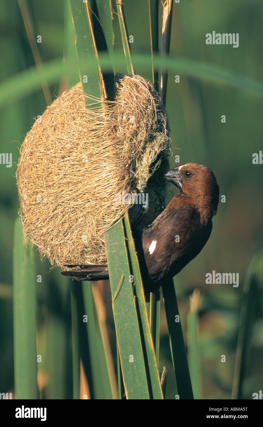Grosbeak Weaver Amblyospiza albifrons working on its nest amoungst reeds Durban South Africa - Stock Image