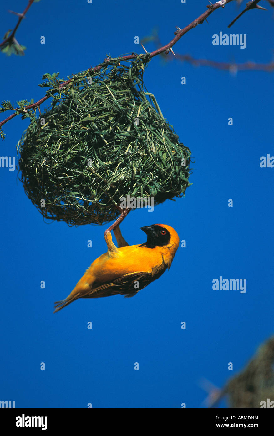 Female Masked Weaver Ploceus velatus Durban South Africa The bird is hanging upside down at the entrance to its - Stock Image