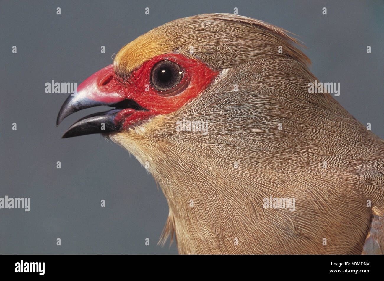 Red faced Mousebird Colius indicus Zululand South Africa - Stock Image