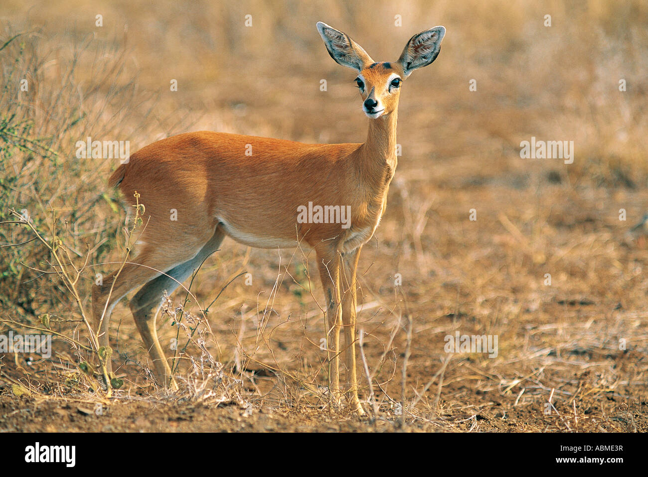 Steinbok ewe Kruger National Park South Africa - Stock Image