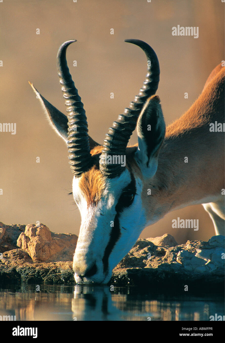 Springbok drinking at a pool Kalahari Gemsbok National Park South Africa - Stock Image