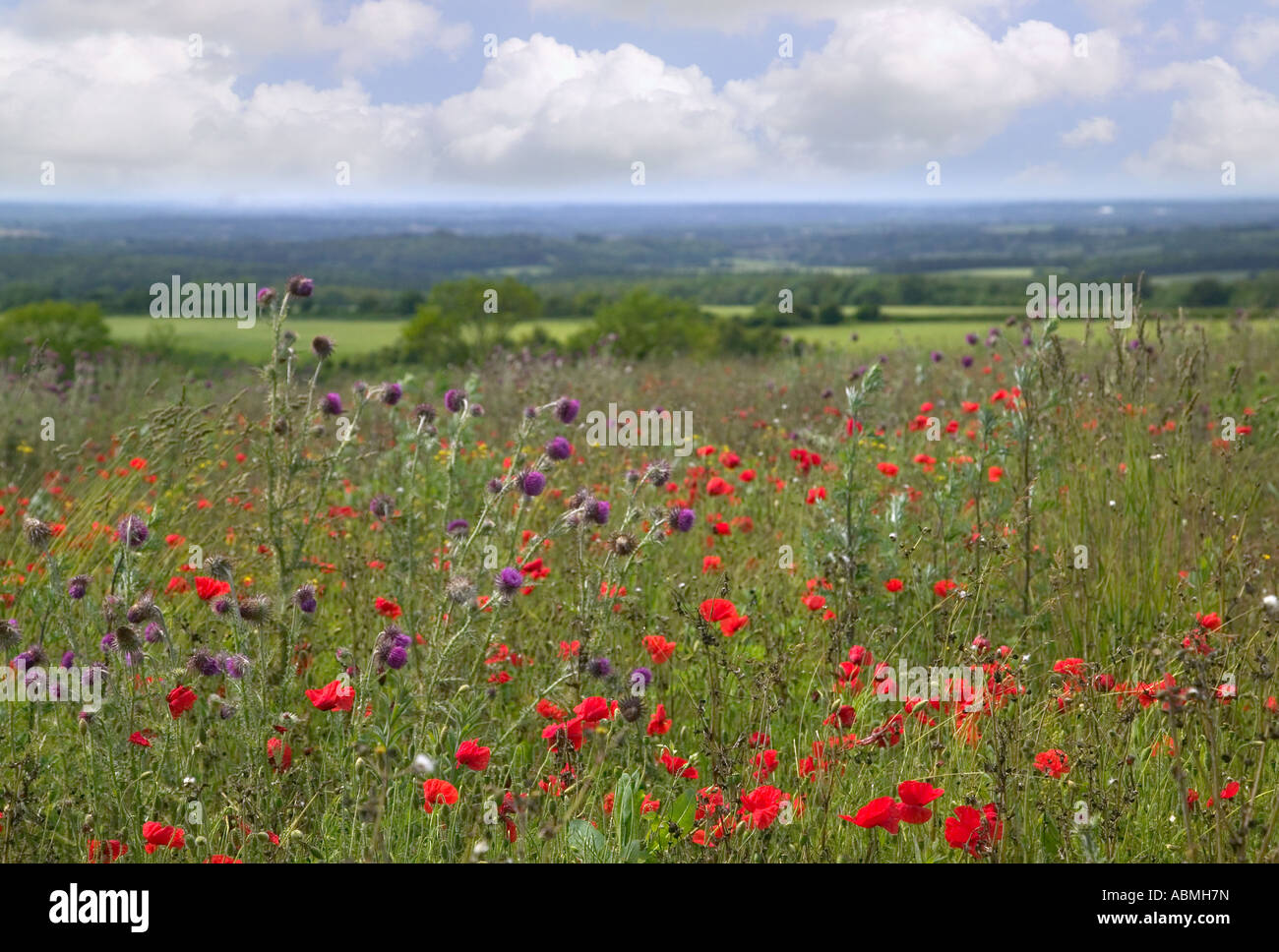 Landscape of wild poppies and thistles in a meadow Beacon Hill Winchester Hampshire - Stock Image
