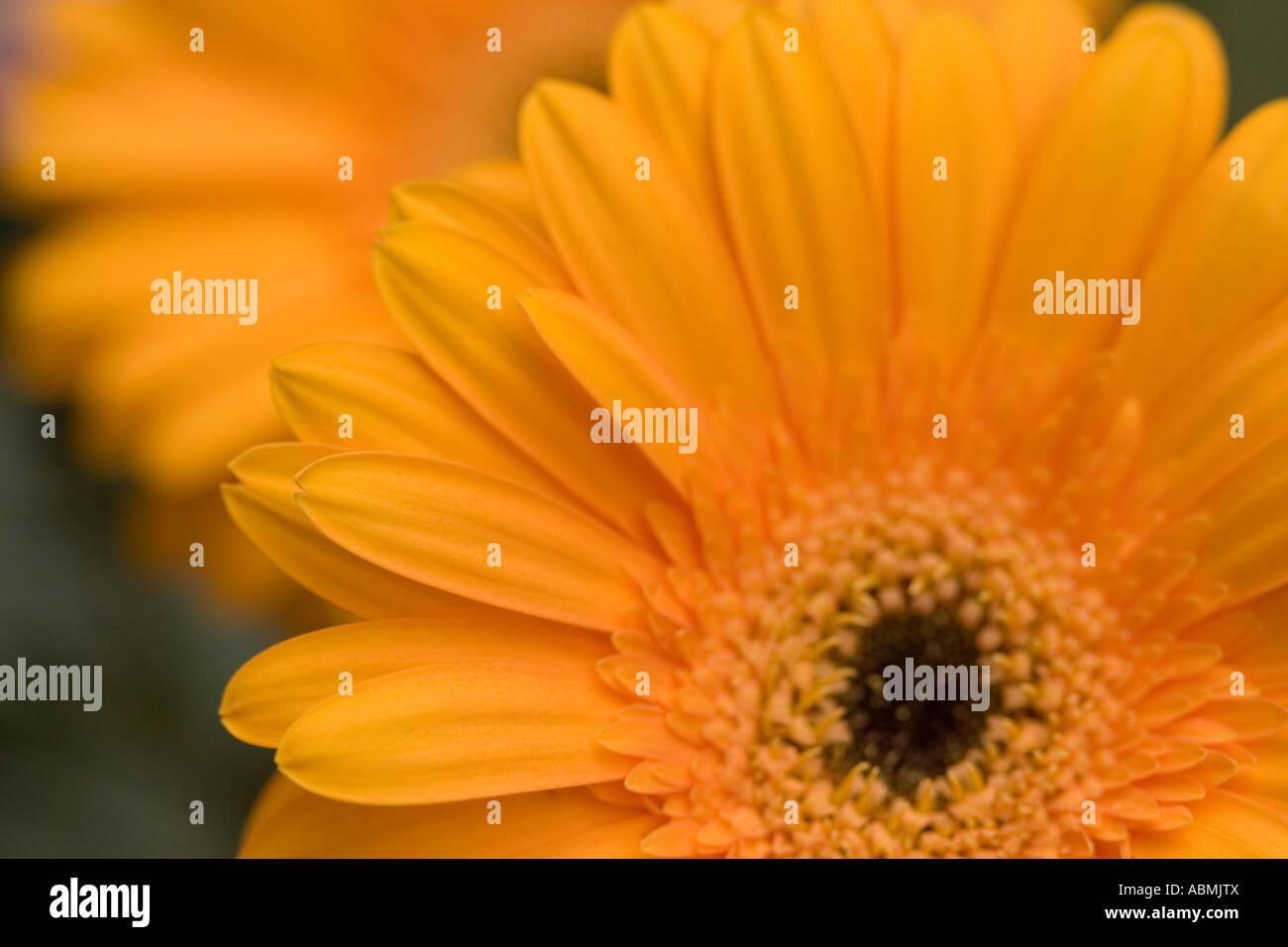 Orange asteraceae - Stock Image