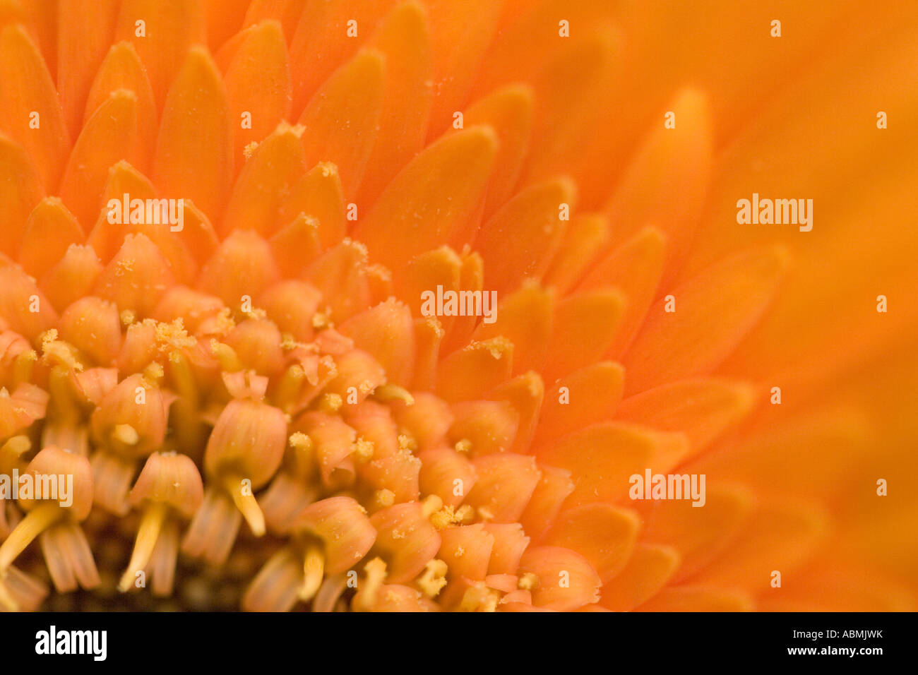 Single flower head of an asteraceae gerbera - Stock Image