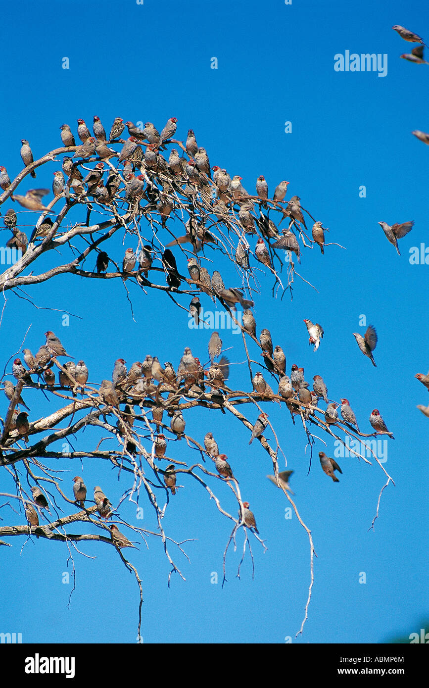 Numerous Red billed Queleas and Red Headed Finches roosting Kalahari Gemsbok National Park South Africa Stock Photo