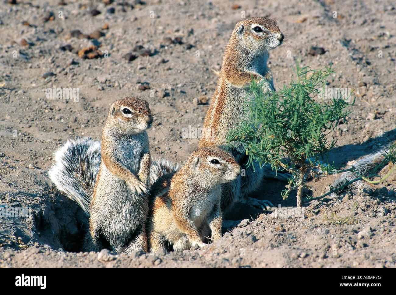 Family group of three Striped Ground Squirrels Central Kalahari Game Reserve Botswana - Stock Image