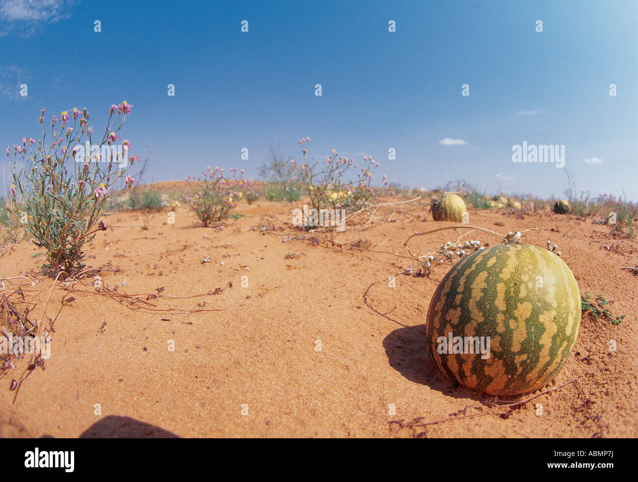 Isamma melon provides moisture for animals in dry season Kalahari Gemsbok National Park North Cape South Africa - Stock Image