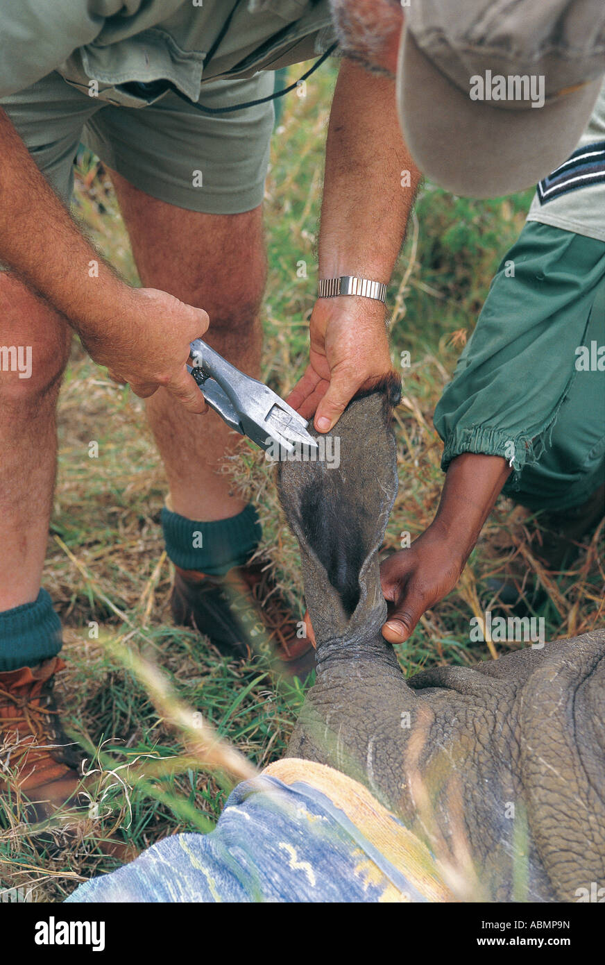 Ear notching of White Rhino for identification purposes Mkuzi Game Reserve Natal South Africa - Stock Image