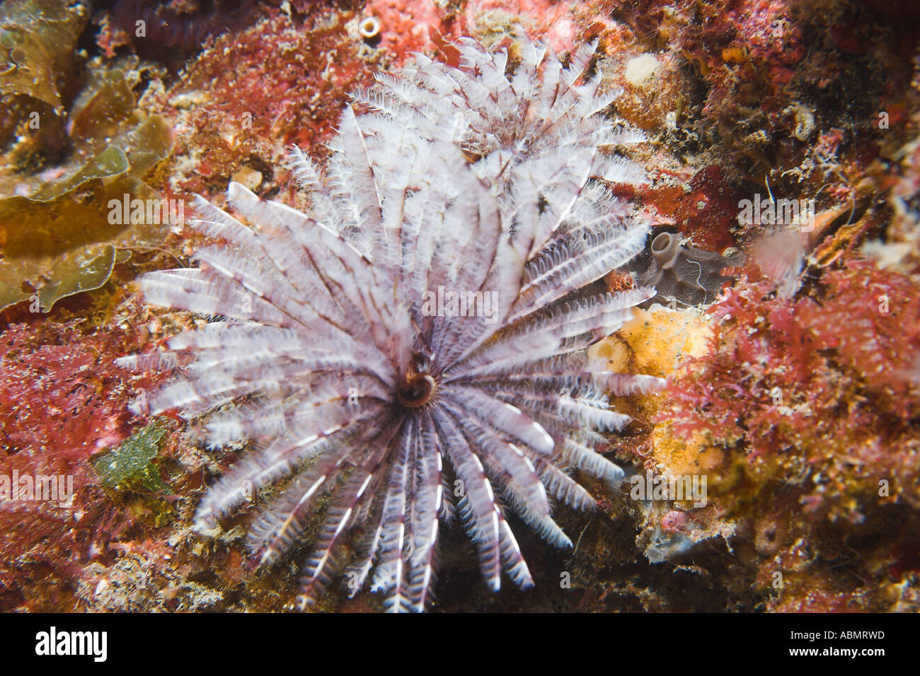 Feather Worm Sabellidae Jeju Do South Korea East Sea Or Sea Of Japan