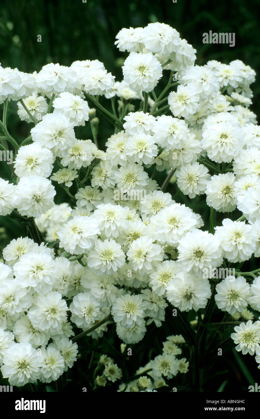 Achillea ptarmica the pearl white flowers garden plant stock photo achillea ptarmica the pearl white flowers garden plant mightylinksfo