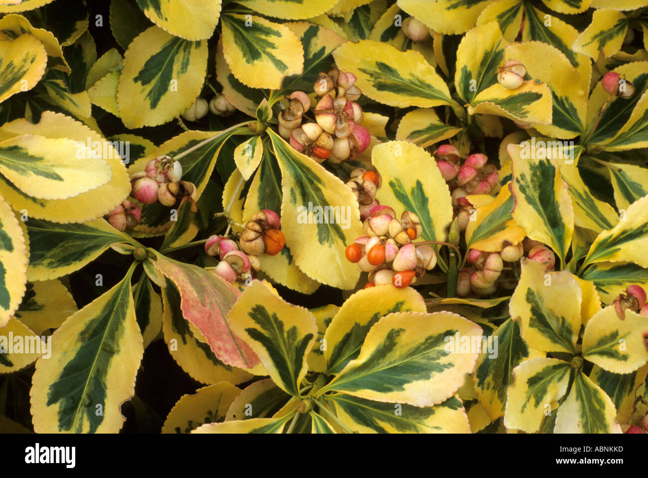 Euonymus fortunei Emerald n Gold berries fruits Autumn - Stock Image