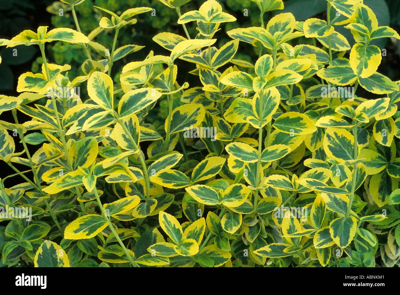 house plant emerald queen html with Variegated Euonymus on Fern House Plant Seeds also Plants Trees And Other Flowers also Queen Maxima Of  herlands Visits additionally Aglaonema together with Michelle Obama Shines US Party Attended David Beckham.