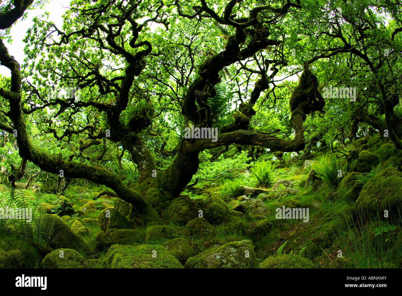 Ancient sessile oak trees in Wistmans Wood National Nature ...