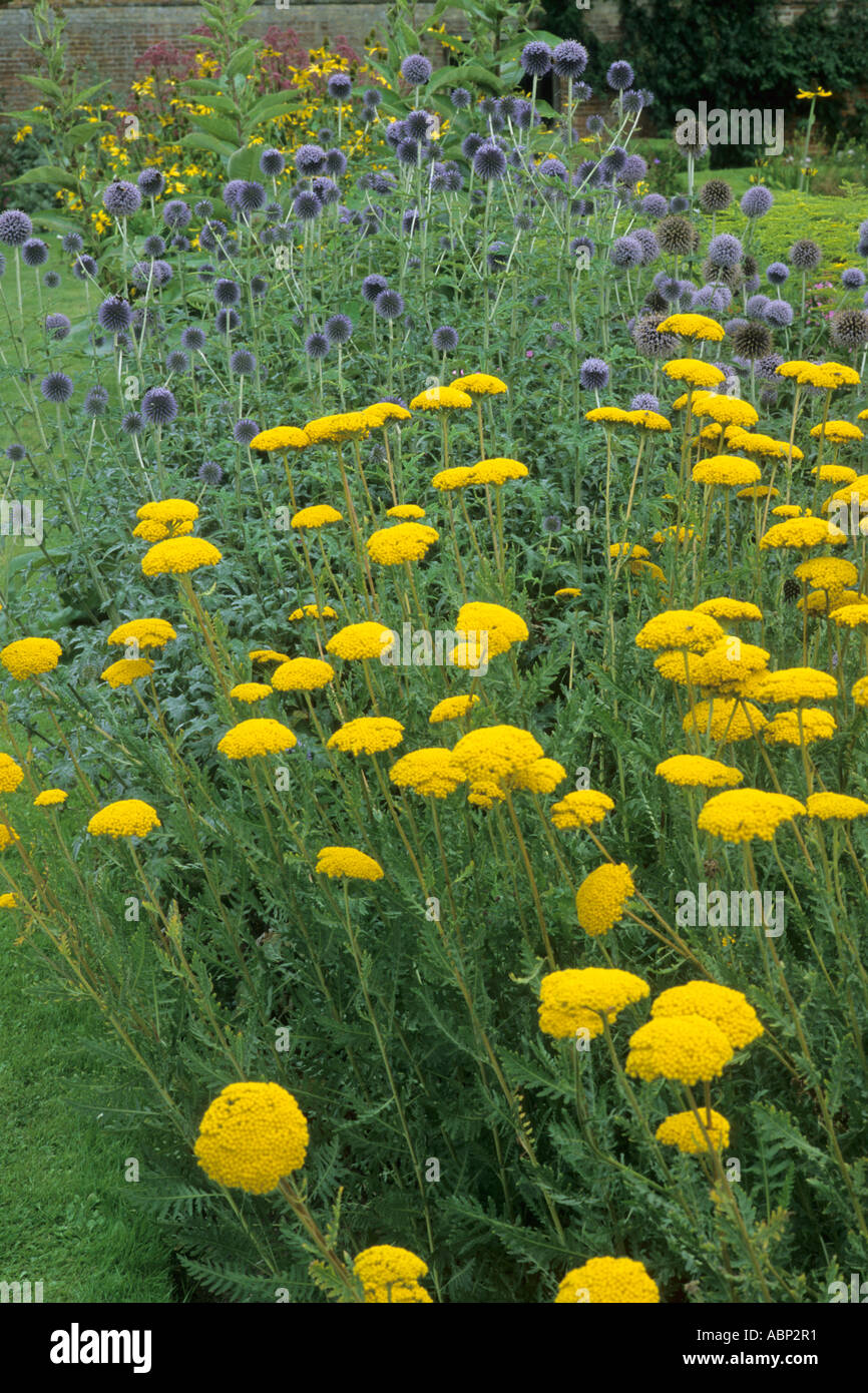 Achillea 'Moonshine', Echinops ritro, blue, yellow flower plant combination achilleas - Stock Image