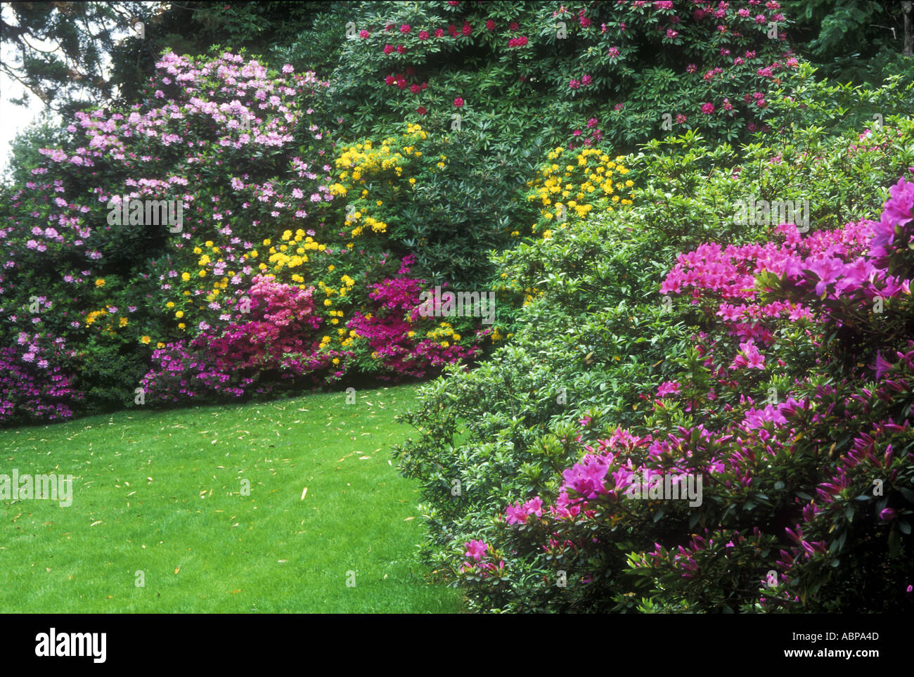 Spring Flowering Bushes Of Rhododendrons At The Parrots Square Isola