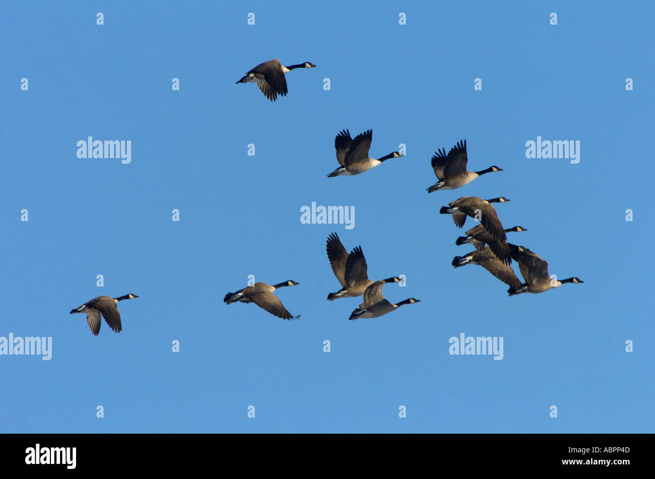 Canada geese Branta canadensis fly in formation over a Michigan wetland - Stock Image