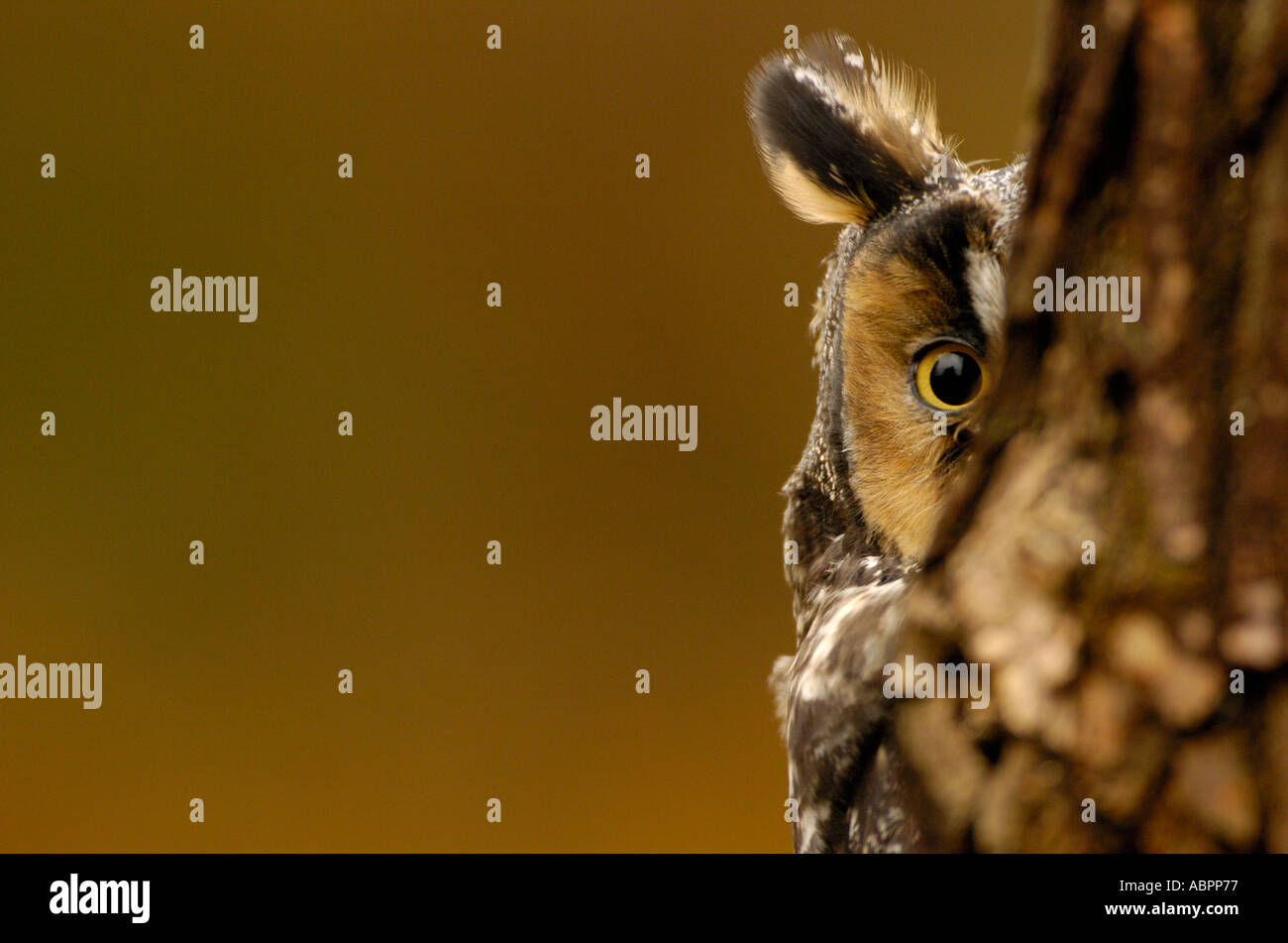 A long eared owl gazes from behind a tree - Stock Image