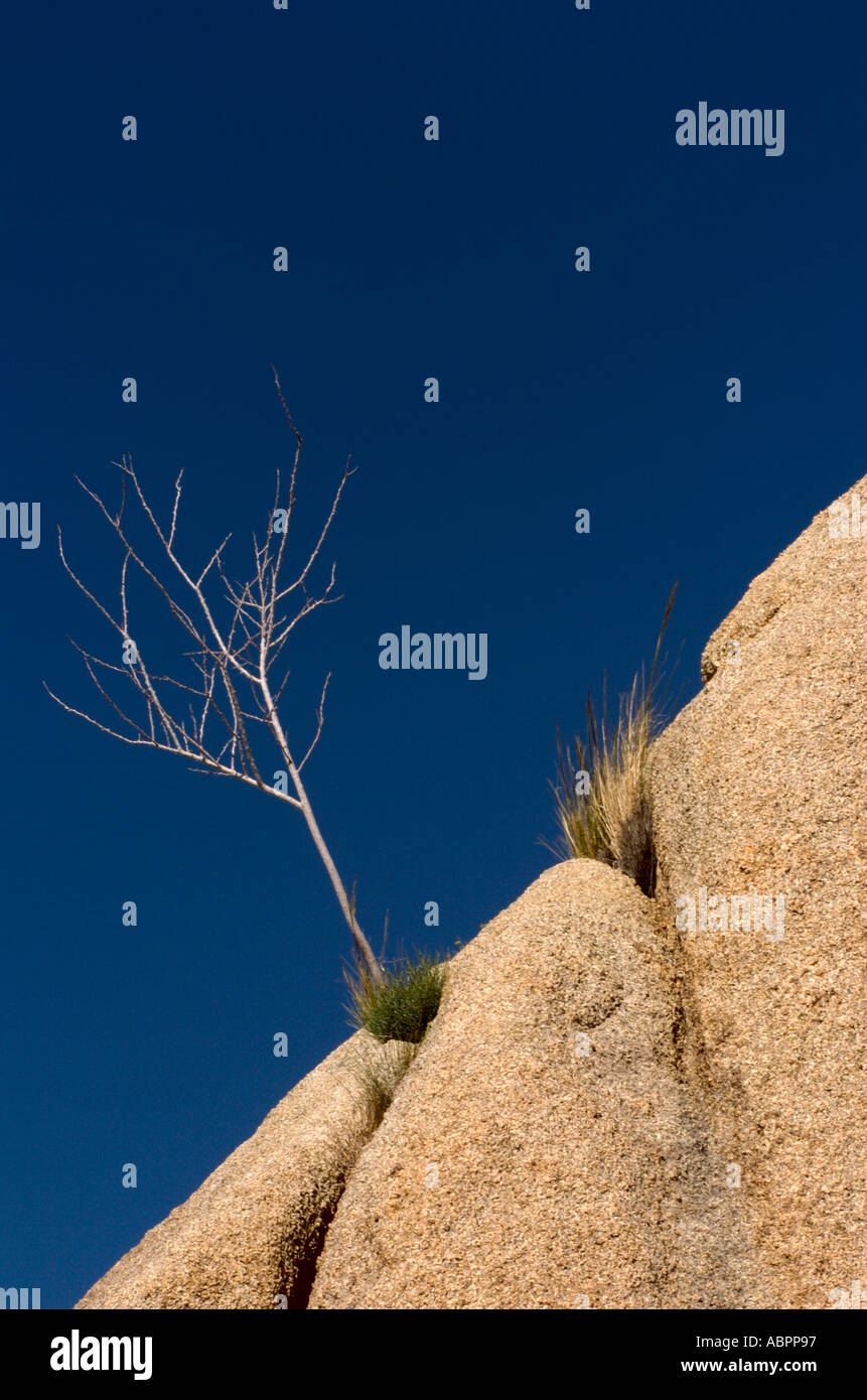 A small snag attached to a cliff side in Joshua Tree National Park California - Stock Image