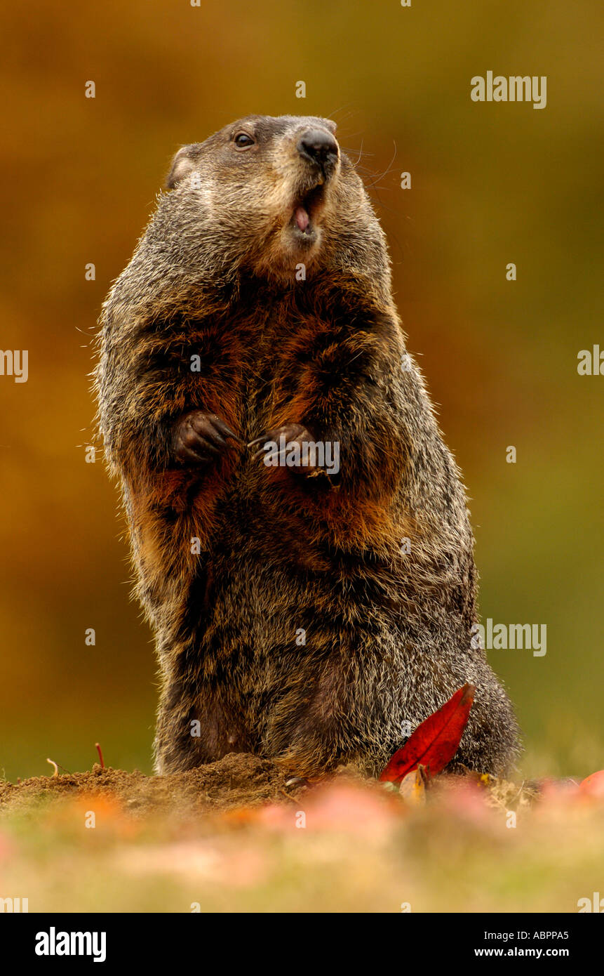 A woodchuck stands upright to check the surroundings with fall leaves - Stock Image
