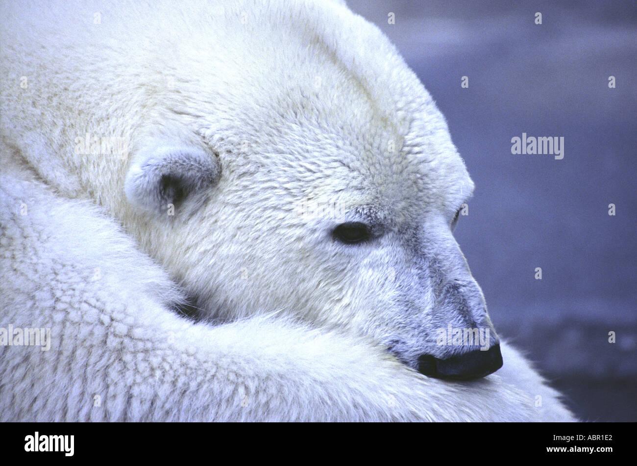 Napping Polar Bear - Stock Image