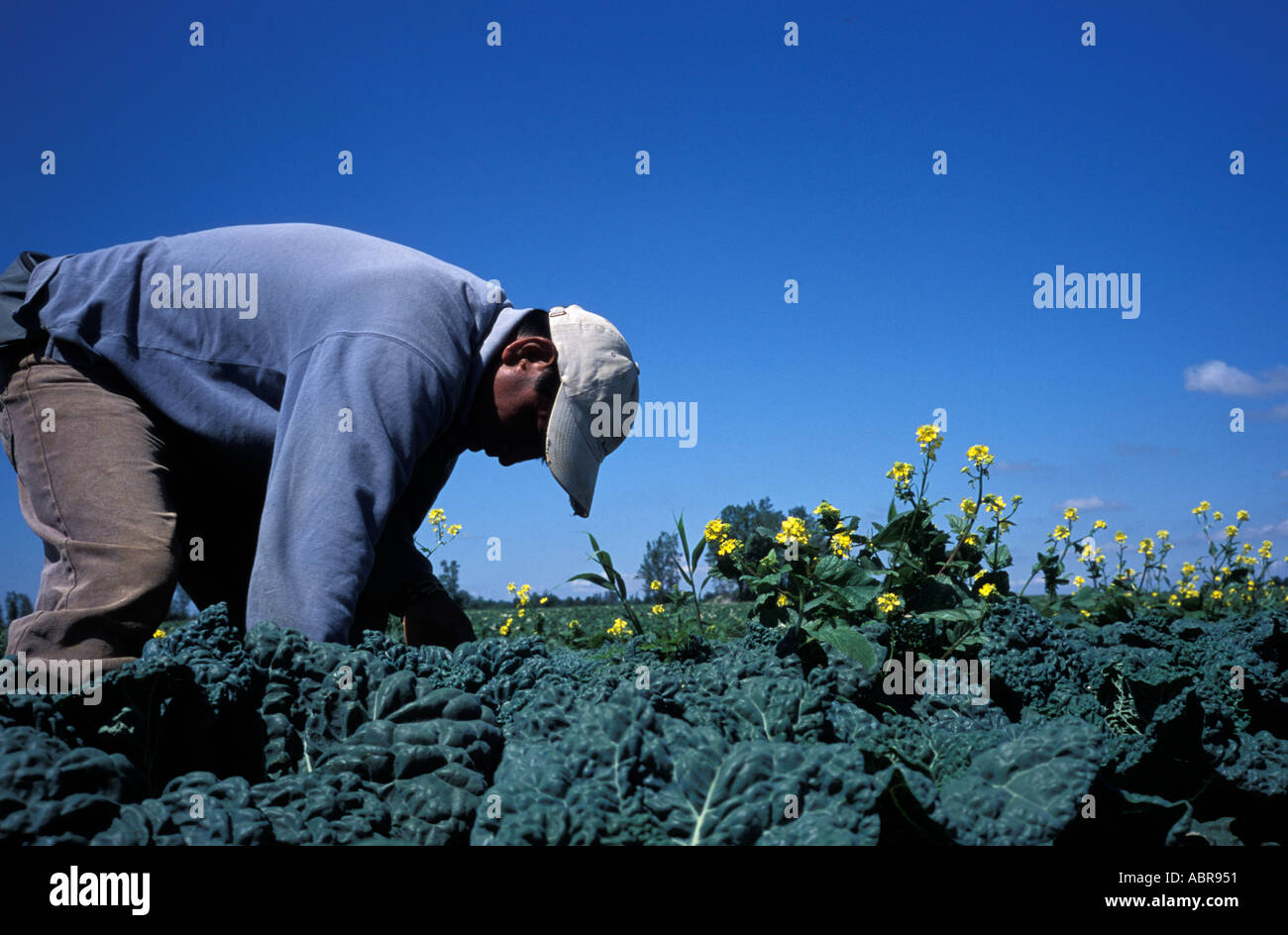 Guatemalan migrant worker on a farm in Quebec Canada - Stock Image