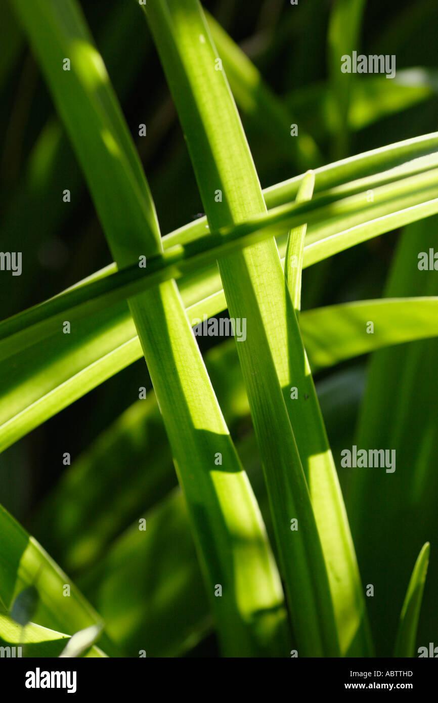 Crinum powellii Leaves of Stock Photo