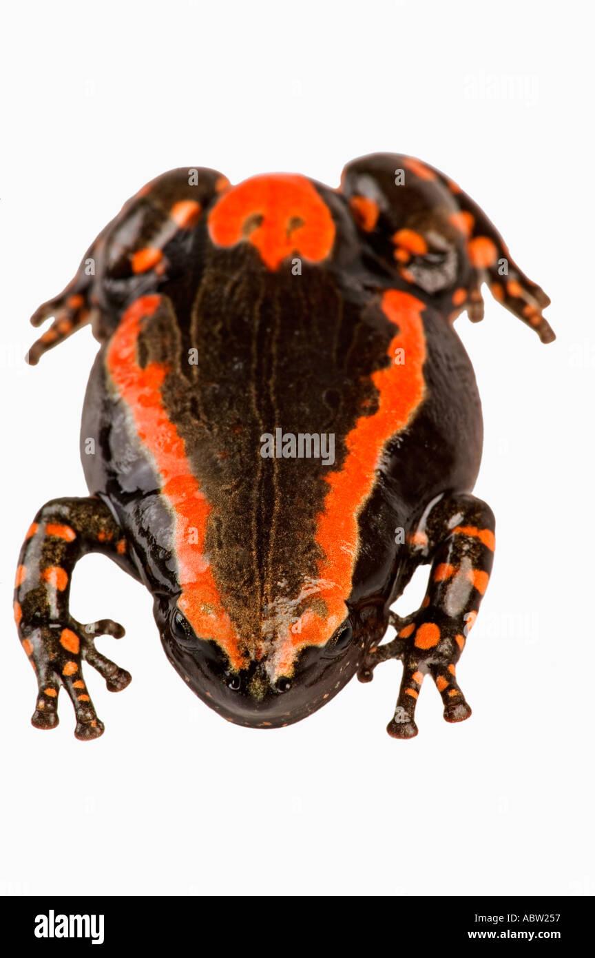 Banded rubber frog Phrynomerus bifasciatus Bright colors warn of toxic skin secretions Dist Sub saharan Africa - Stock Image