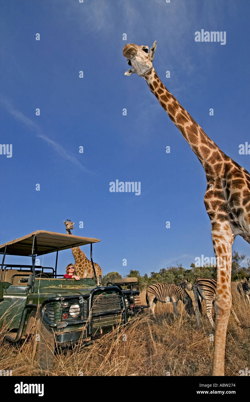 Southern Giraffe Giraffa camelopardalis giraffa With tourists on game drive Private game reserve Model released South Africa - Stock Image