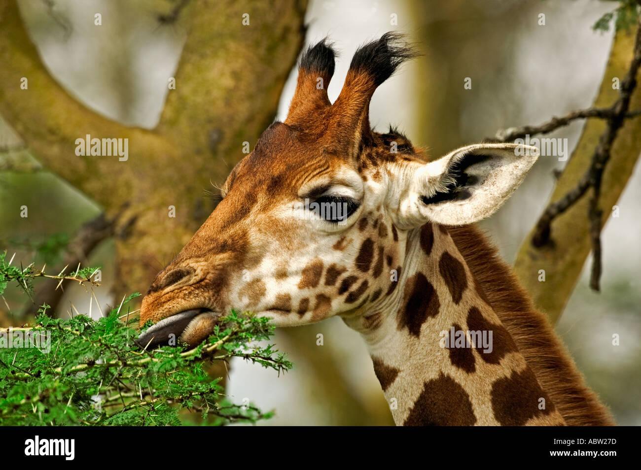 Rothschild Giraffe Giraffa camelopardalis rothschildi One of 9 subspecies of giraffe Lake Nakuru Park Kenya East Africa - Stock Image