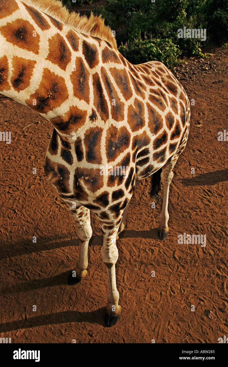 Rothschild Giraffe Giraffa camelopardalis rothschildi Giraffe Centre Nairobi Kenya - Stock Image