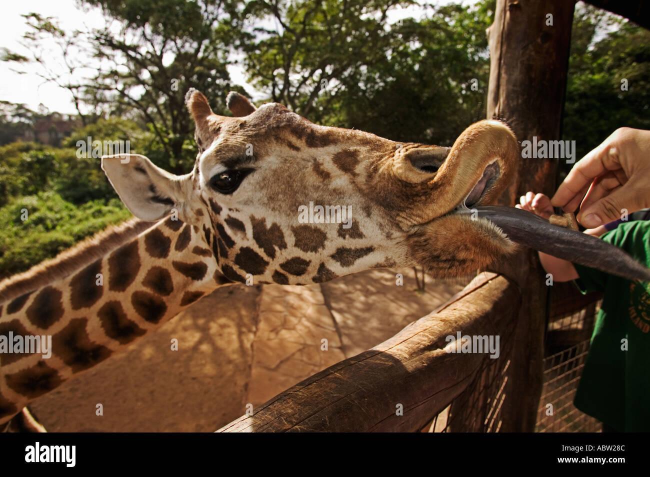 Rothschild Giraffe Giraffa camelopardalis rothschildi With guide Giraffe Centre Nairobi Kenya - Stock Image