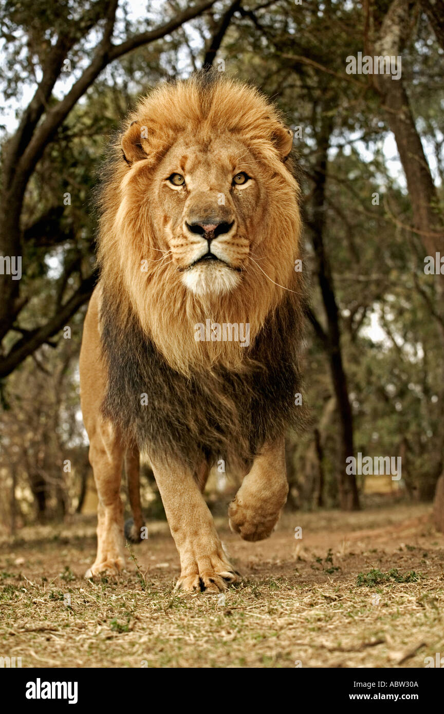 lion panthera leo running towards camera south africa dist. Black Bedroom Furniture Sets. Home Design Ideas