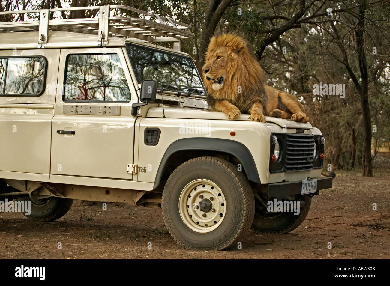 Lion Panthera leo Lion looking through window of tourist vehicle Model released South Africa Dist Sub saharan Africa - Stock Image