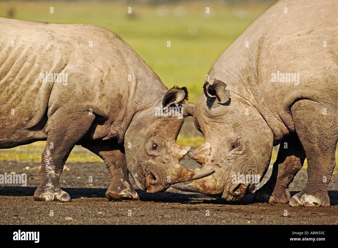 Black Rhinoceros Diceros bicornis Sub adult and adult bull interact Lake Nakuru National Park Kenya - Stock Image