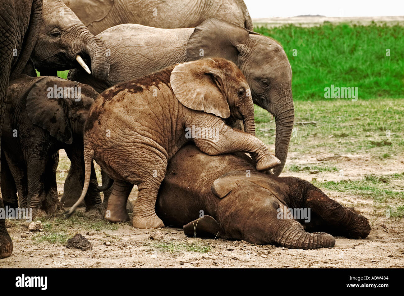 African elephant Loxodonta africana Calves lie down to sleep while others play Amboseli National Park Kenya - Stock Image