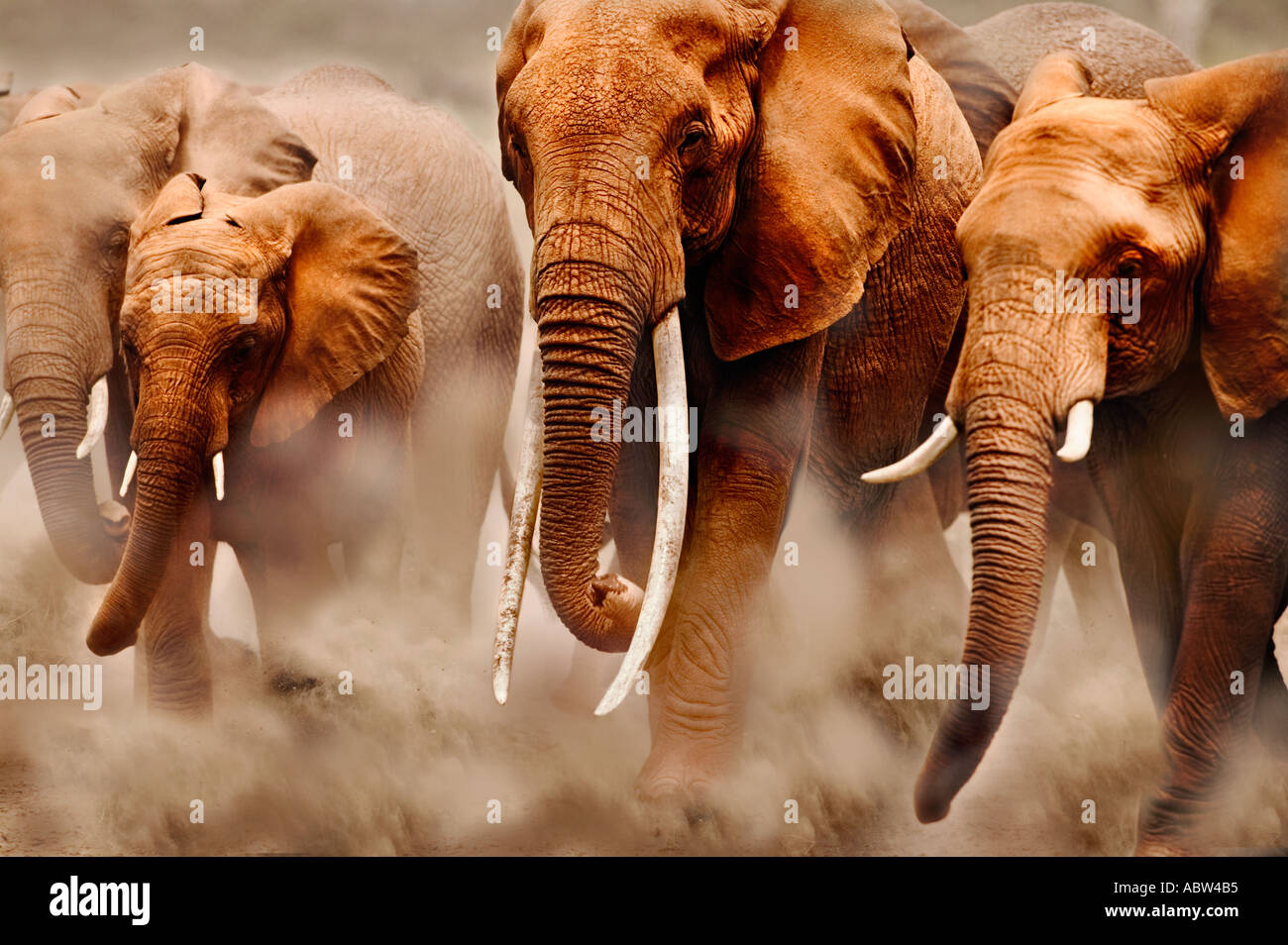 African elephant Loxodonta africana Breeding herd Amboseli National Park Kenya Dist Sub saharan Africa - Stock Image