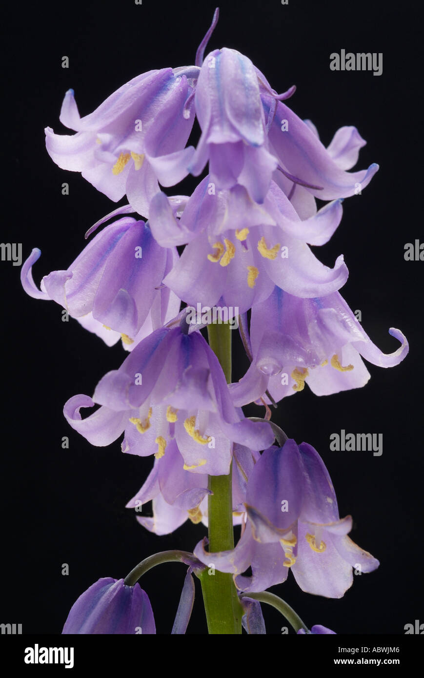 Blue bell hyacinthoides bluebell multi head spring early first close up atmospheric moody classic - Stock Image