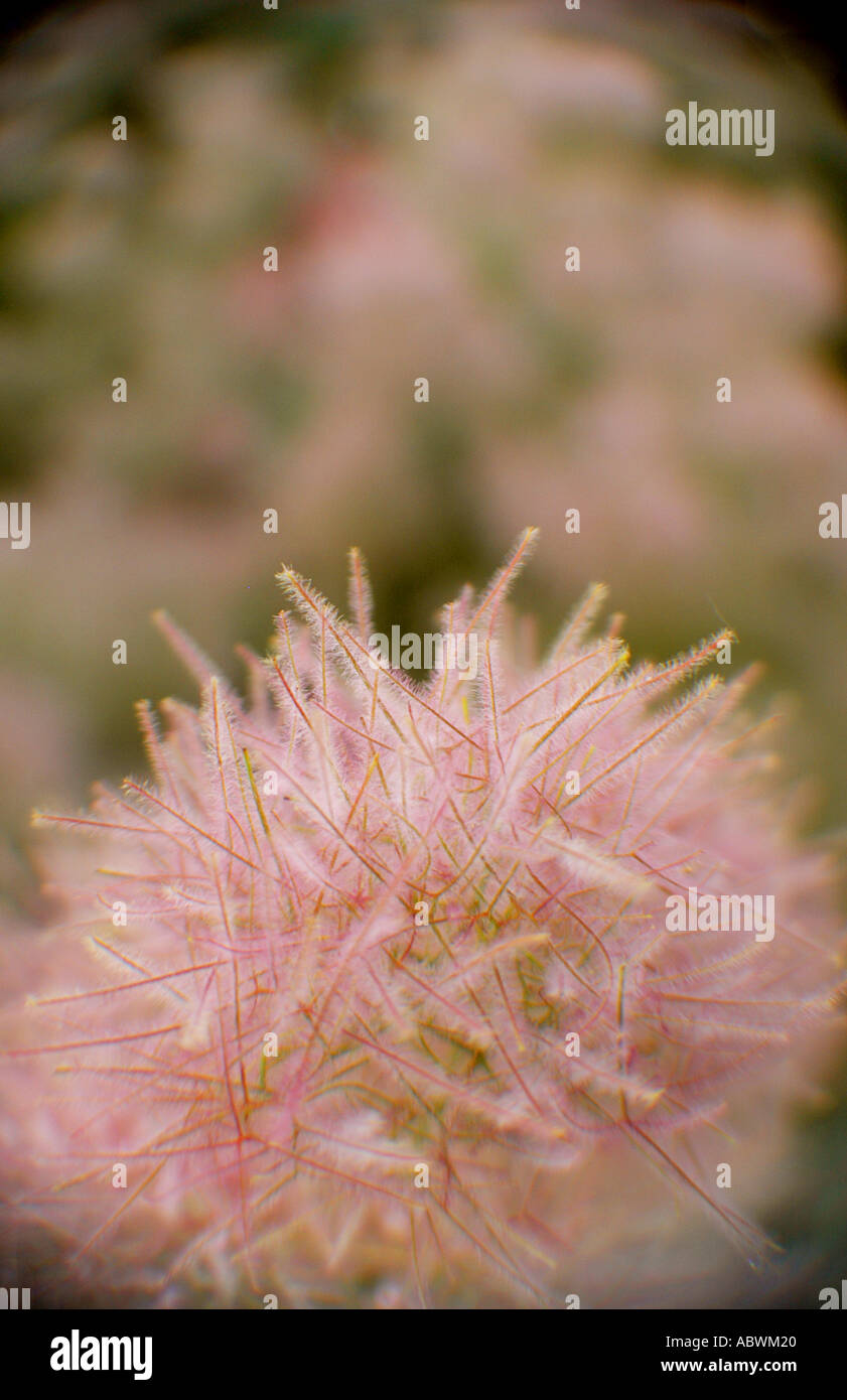 Pink puffy flowering tree stock photos pink puffy flowering tree pink puffy flowering tree stock image mightylinksfo